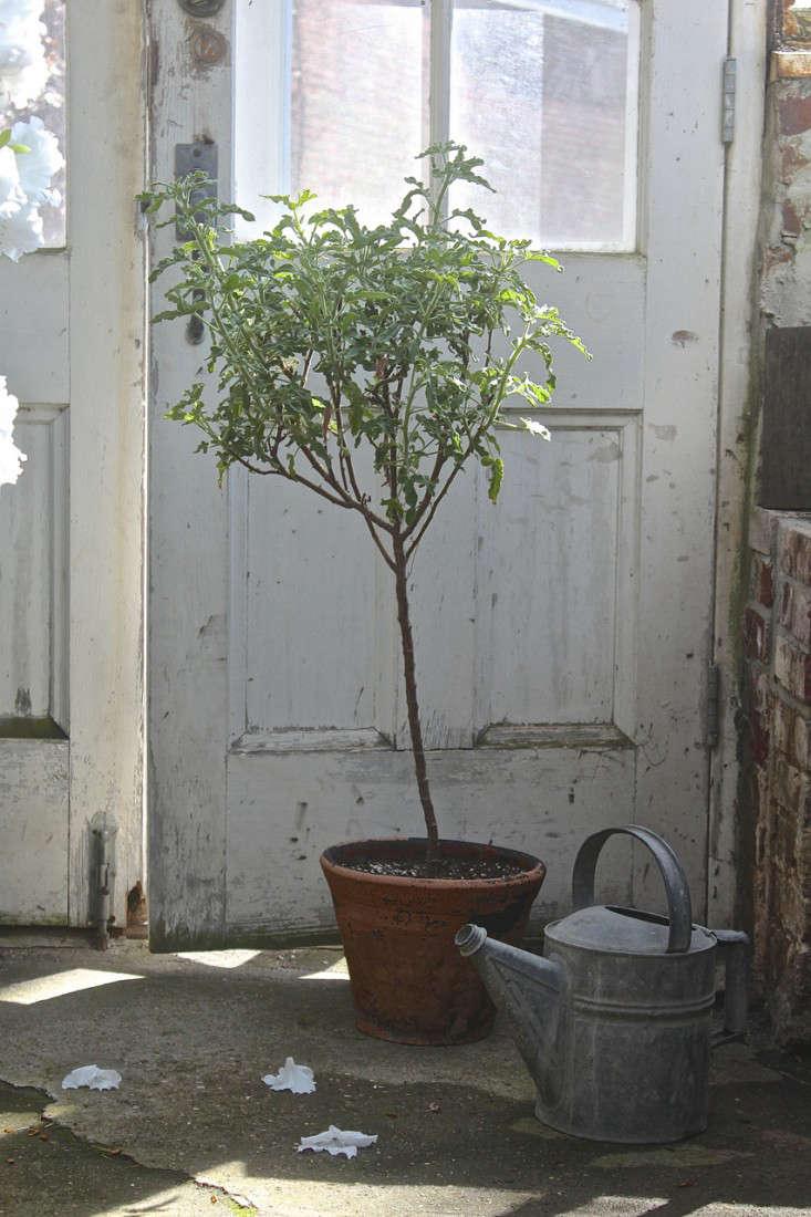 rose-lemon-scented-pelargonium-standard-gardenista-justine-hand