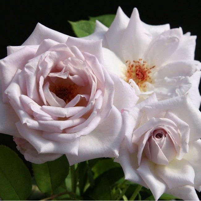 A Silver Shadows Rose (classified as a pale lavender) is \$38 from Heirloom Roses.