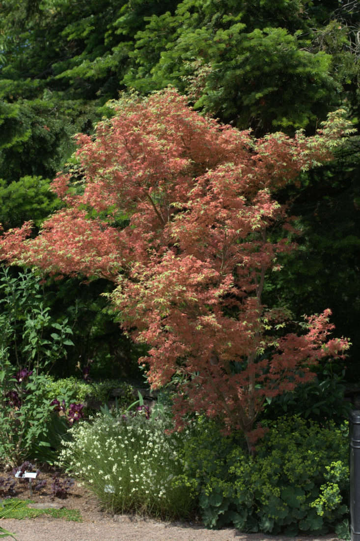 A Japanese maple,Acer Palmatum&#8\2\2\1;KagiriNishiki&#8\2\2\1; grows slowly and is shaped like a vase; \$54.99 for a \1-gallon pot at Mendocino Maples Nursery. Photograph by Averater via Wikimedia.