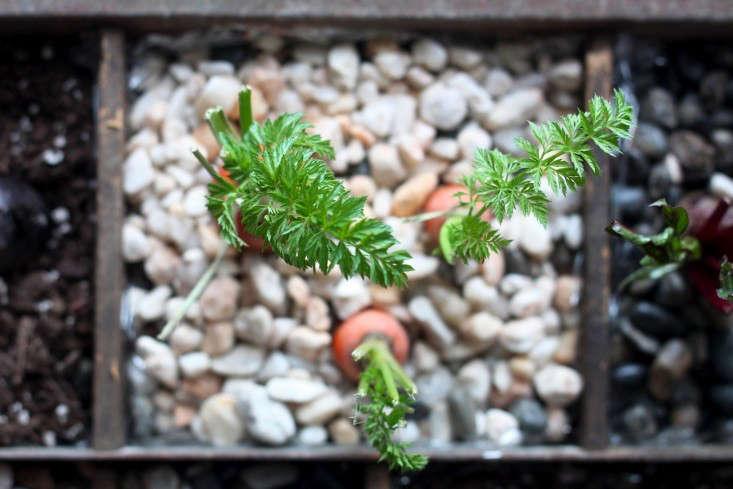 Compost Garden, sprouting carrots-733x489