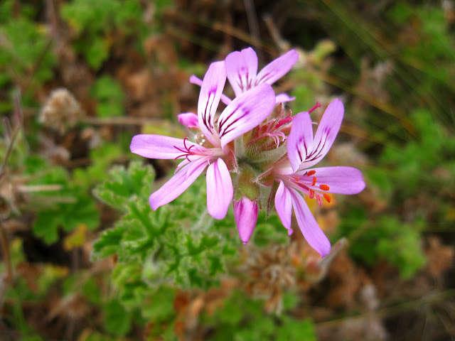 Pelargonium capitatum_marie-_viljoen_gardenista