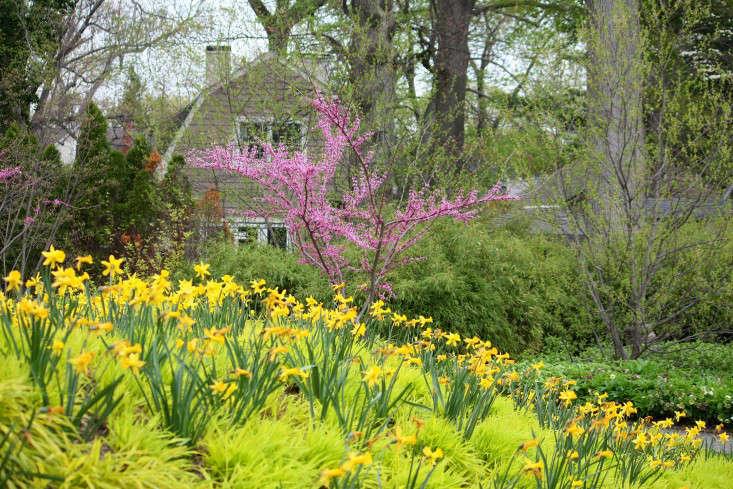 bermspring_marie viljoen-daffodils-silas-mountsier-gardenista