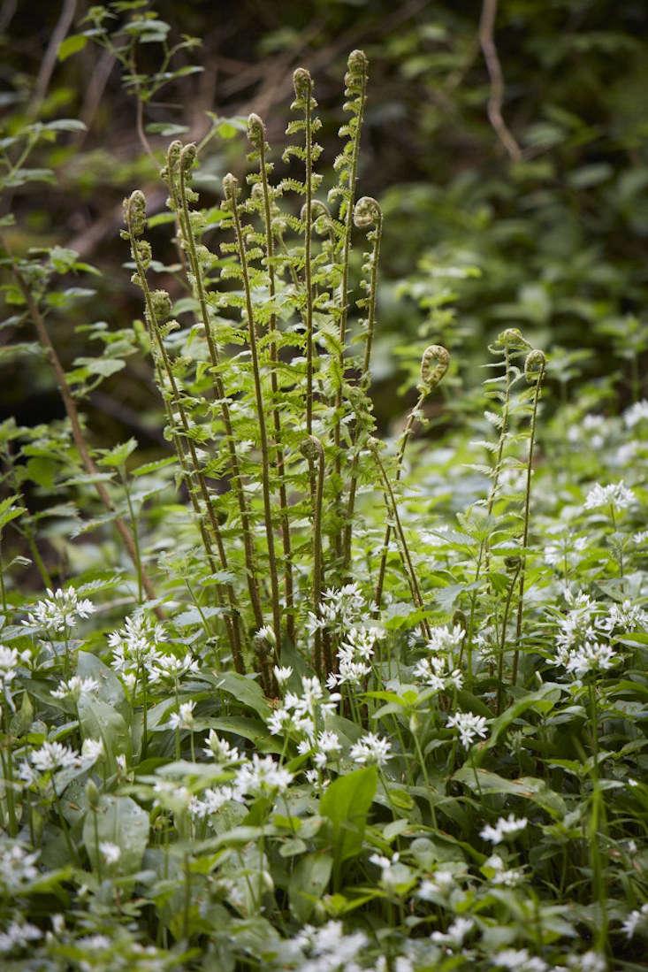bluebells-wild-garlic-britt-willoughby-dyer-gardenista-2