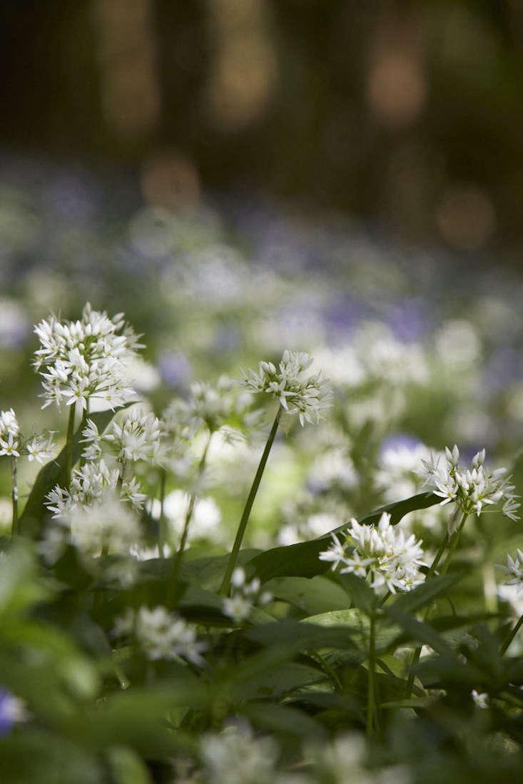 bluebells-wild-garlic-britt-willoughby-dyer-gardenista-3