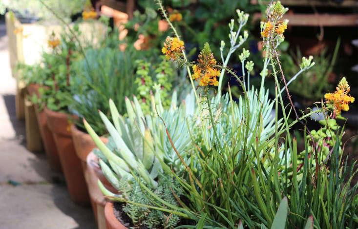 bulbinella_marie viljoen_gardenista
