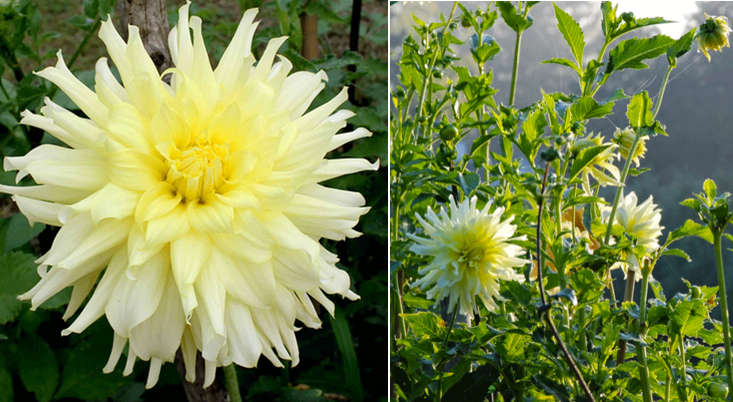 dahlia-albert-furman-meadowburn-gardenista