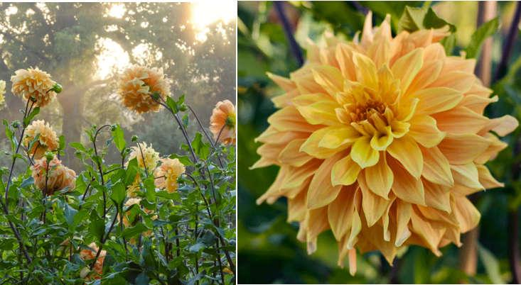 dahlia-helena-rutherfurd-ely-meadowburn-gardenista