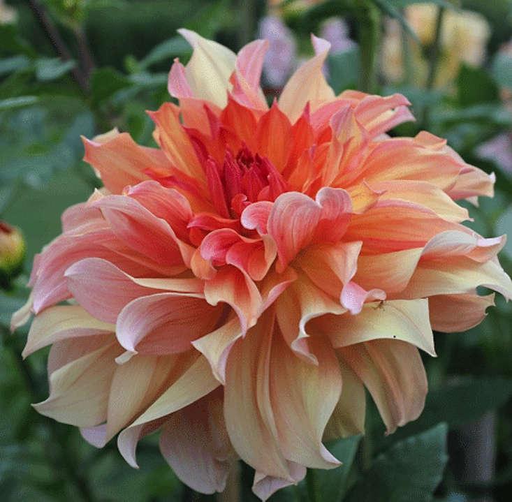 dahlia-jane-cowl-gardenista
