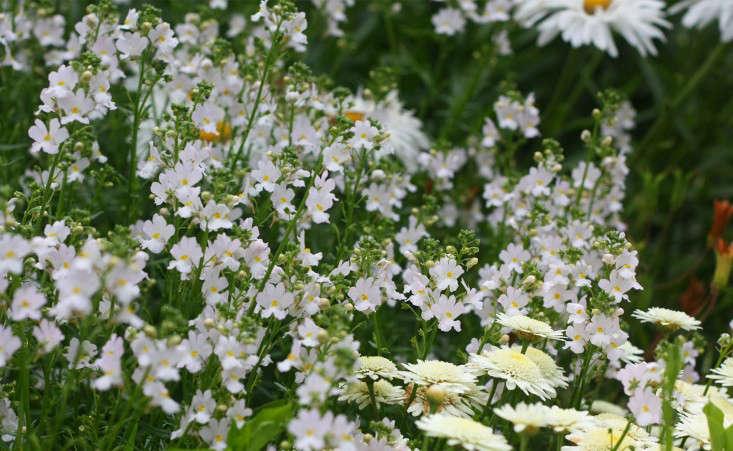 nemesias_marie viljoen-gardenista