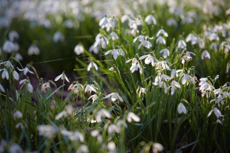 snowdrops-britt-willoughby-dyer-6-gardenista