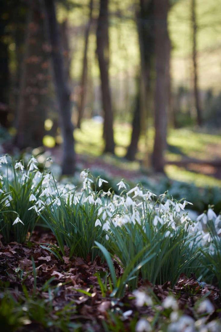 snowdrops-britt-willoughby-dyer-gardenista-12