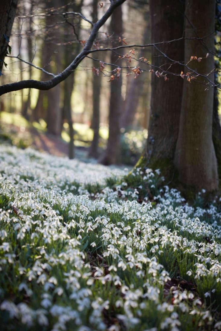snowdrops-britt-willoughby-dyer-gardenista-14
