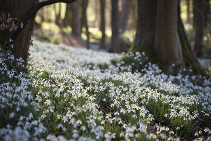 snowdrops-britt-willoughby-dyer-gardenista-20