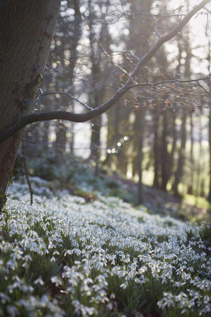 snowdrops-britt-willoughby-dyer-gardenista-21