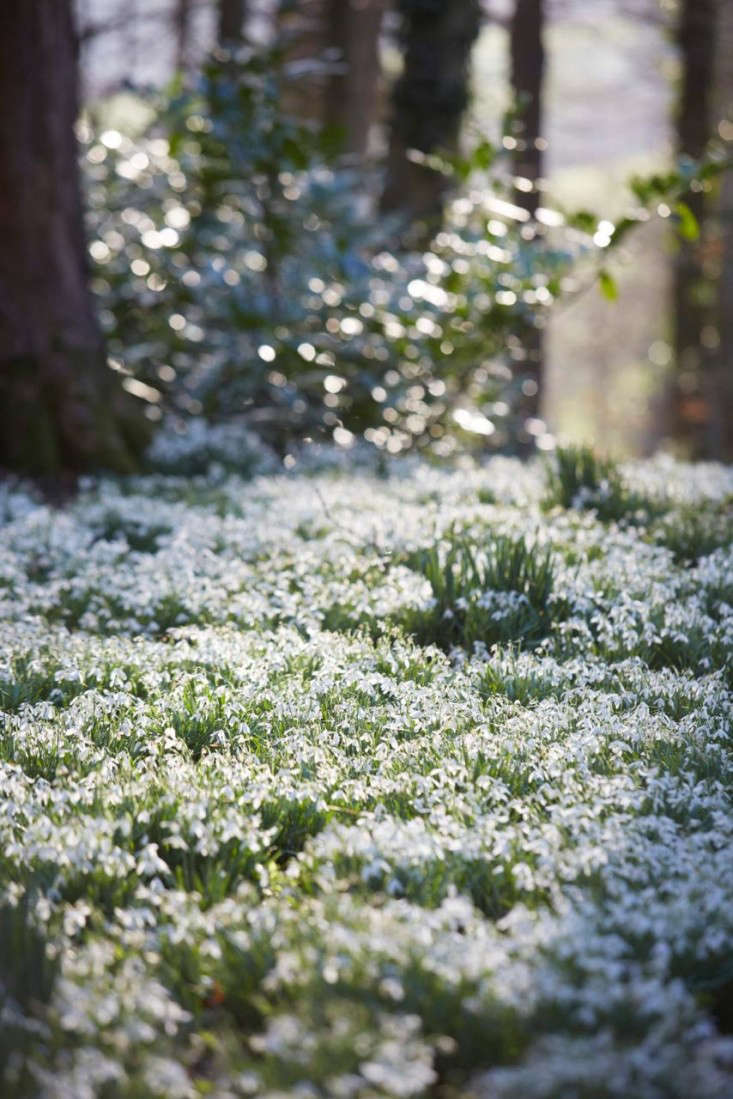 snowdrops-britt-willoughby-dyer-gardenista-7
