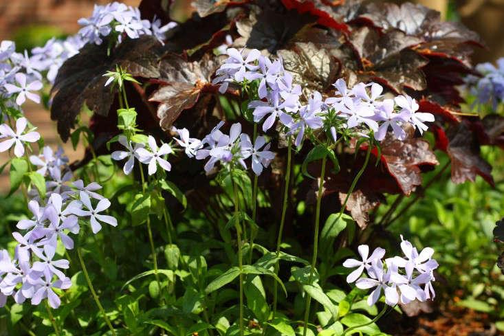 woodland phlox_marie viljoen_gardenista