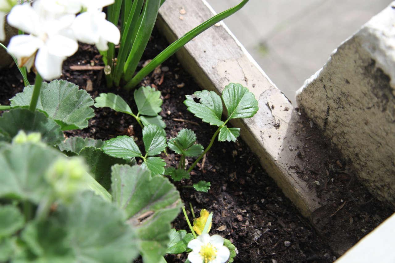 Strawberry in Window Box | Gardenista