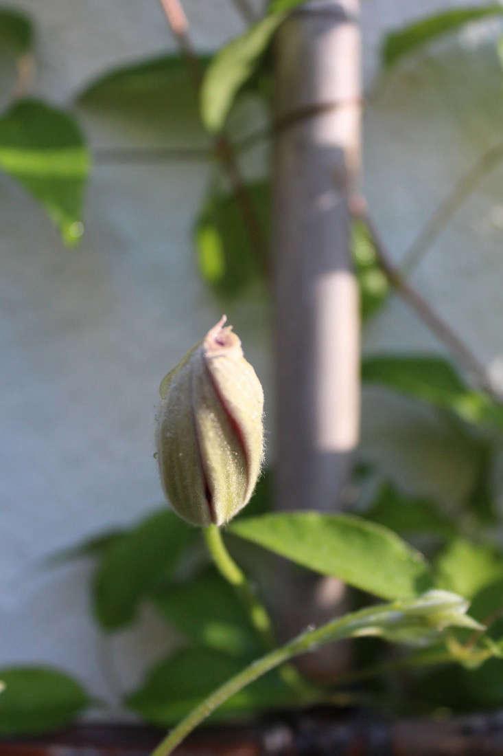 clematis-flower-about-to-bloom-gardenista