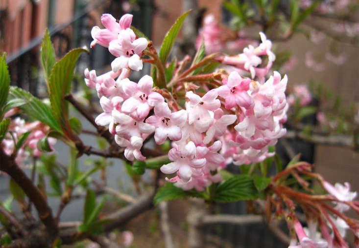 dawn-viburnum_marie viljoen-gardenista
