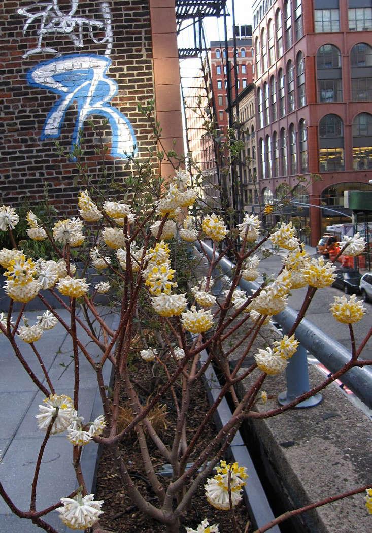 edgeworthia nyc_marie viljoen-gardenista