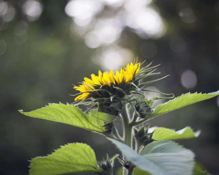 howard-sooley-photo-sunflower