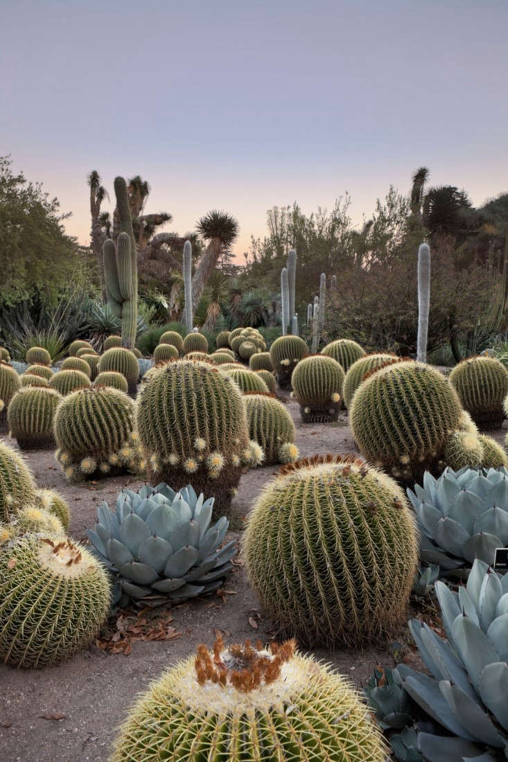 Golden barrel cactus (Echinocactus grusonii), age 0, flourishes in the desert garden at sunset at the Huntington Botanical Gardens in San Marino, California. See more at Required Reading: Lessons from the Great Gardeners.