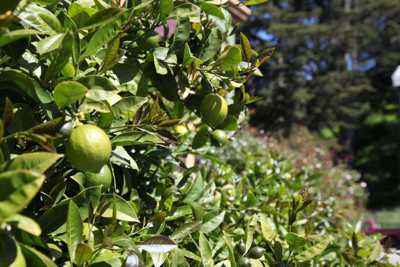 limes-meredith-swinehart-gardenista