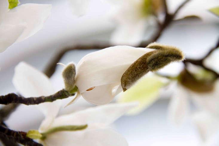 magnolia-bud-trees-london-britt-willoughby-dyer-gardenista