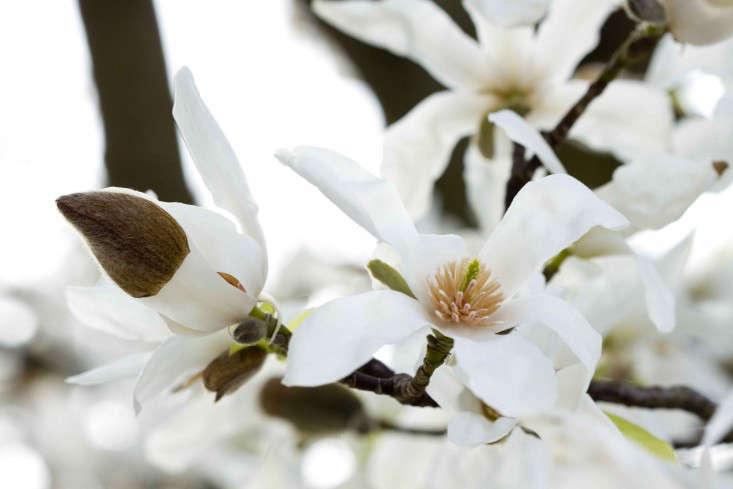 magnolia-trees-london-britt-willoughby-dyer-gardenista-IMG_4786