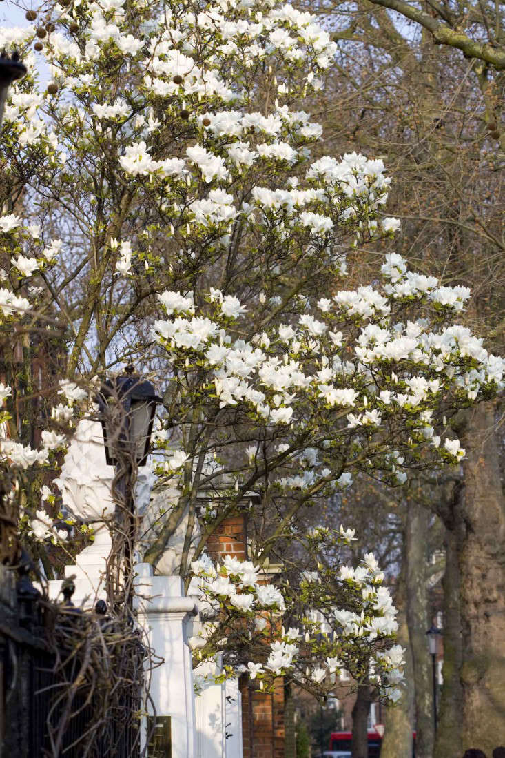 magnolia-trees-london-britt-willoughby-dyer-gardenista-IMG_4801