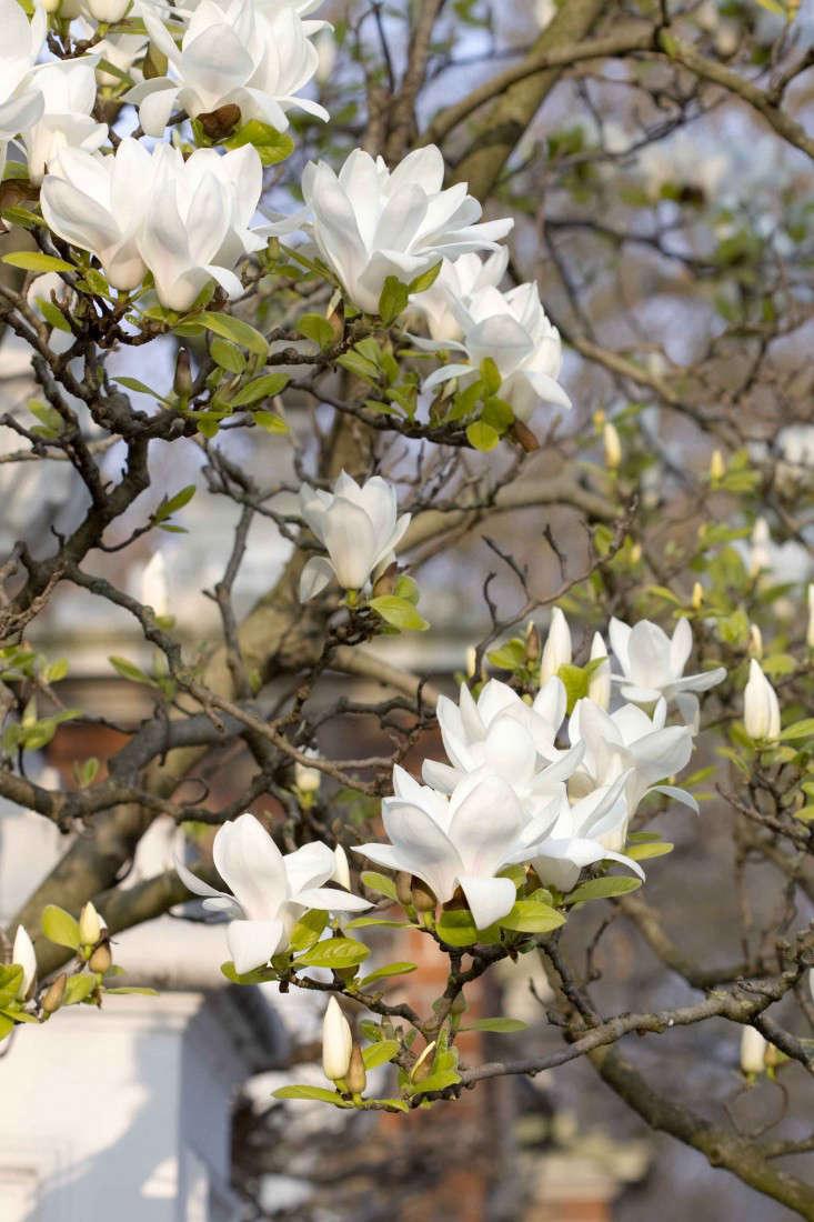 magnolia-trees-london-britt-willoughby-dyer-gardenista-IMG_4802