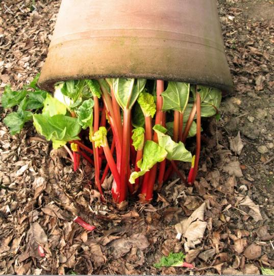 rhubarb-forcer-in-garden-gardenista