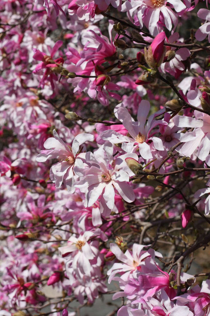 star magnolia_marie viljoen-gardenista