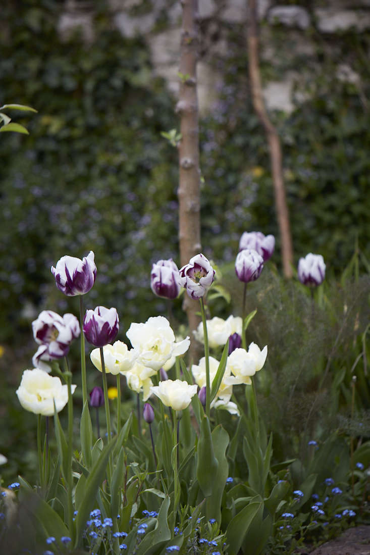 tulips-at-edge-of-wood-britt-willoughby-dyer-gardenista