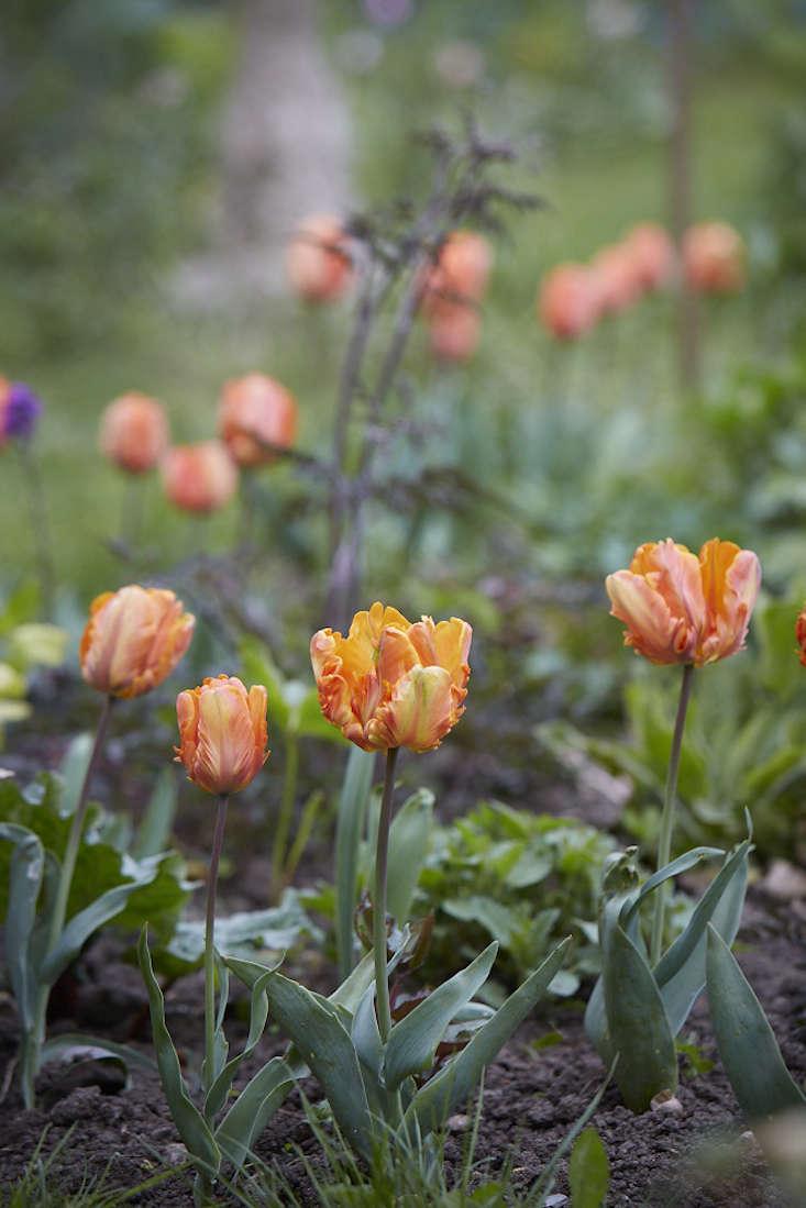 tulips-orange-3-britt-willoughby-dyer-gardenista