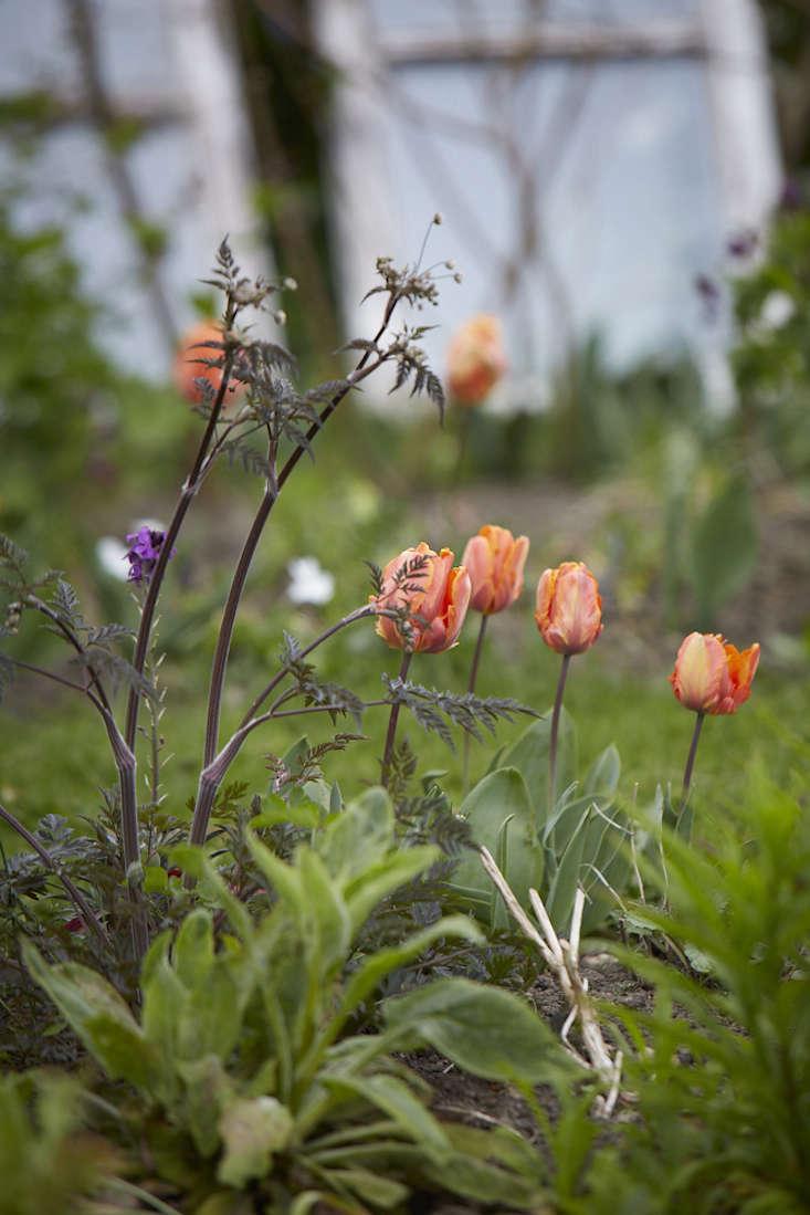 tulips-orange-britt-willoughby-dyer-gardenista.jpg