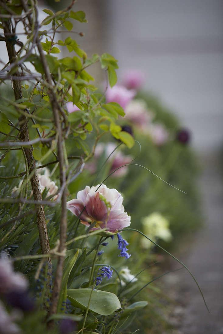 tulips-path-garden-gate-ruffled-pink-2-britt-willoughby-dyer-gardenista.jpg