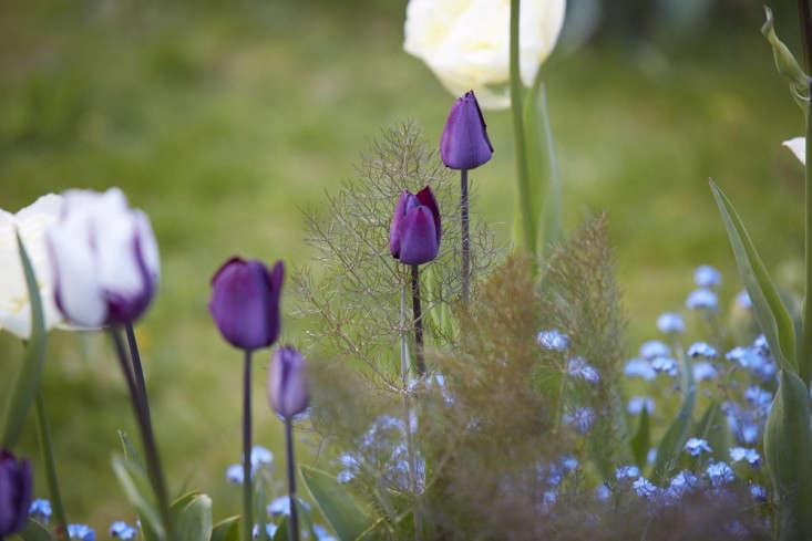 tulips-purple-britt-willoughby-dyer-gardenista