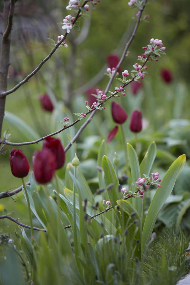 Photograph by Britt Willoughby Dyer. See more of the tulips Britt planted in her Cotswolds cottage garden, see Garden Visit: The Tulips of Hawthorn Cottage.