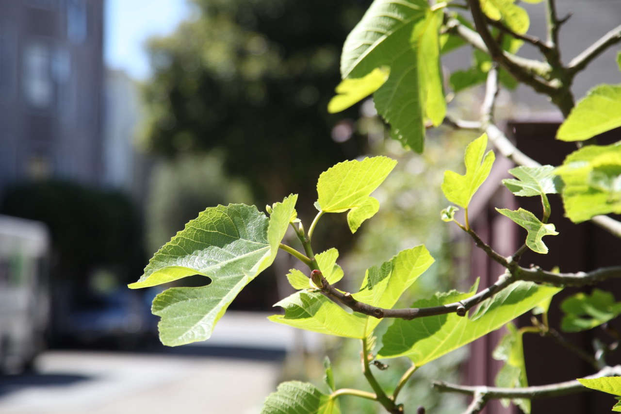 Fig Leaves in City | Gardenista