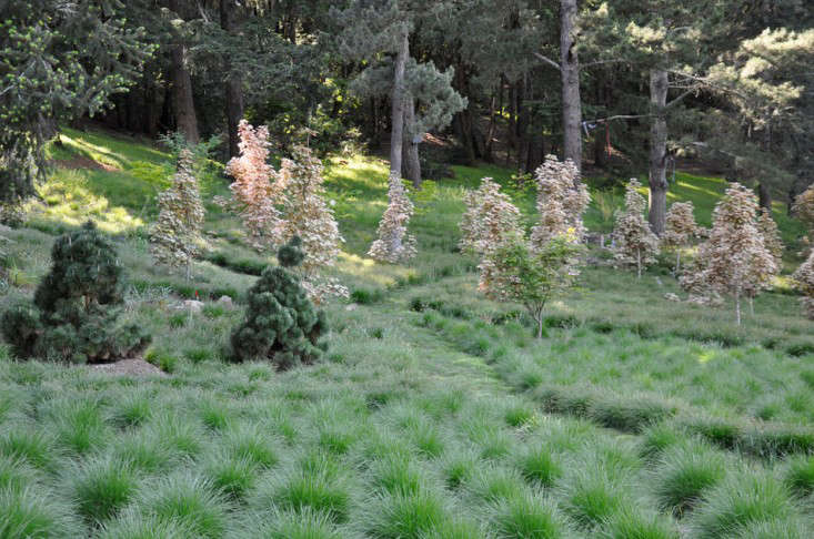 Pennisetum spathiolatum grows in well-mannered clumps on either side of a mown path in Napa, California.