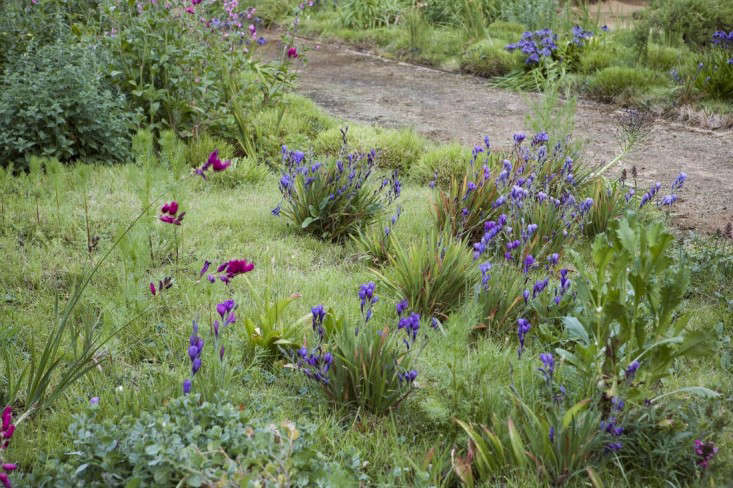 In spring, bulbs and corms send up ixia, babiana, and scilla flowers in a meadow of Carex texensis and Carex remota.
