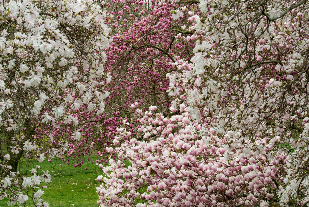 164, Star and saucer magnolias explode into bloom in early spring.