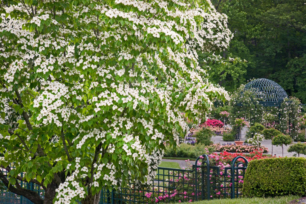 Page101,66,Japanese dogwoods flower in early June during the first flush of color in the Peggy Rockefeller Rose Garden.