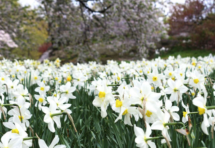 daffodils_marie viljoen (1)