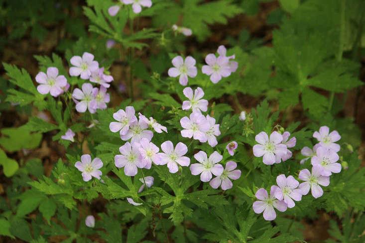 Geranium maculatum. Photograph by Marie Viljoen.