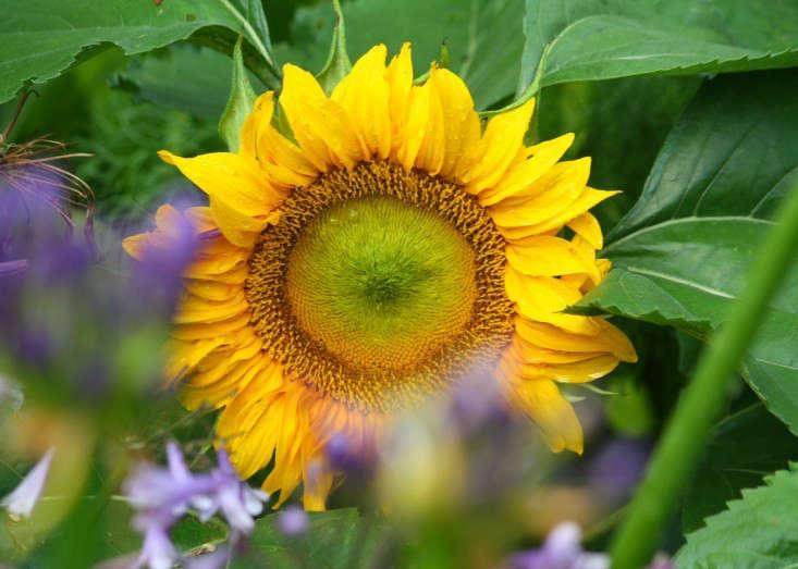 marie-viljoen-sunflower-gardenista-733x523