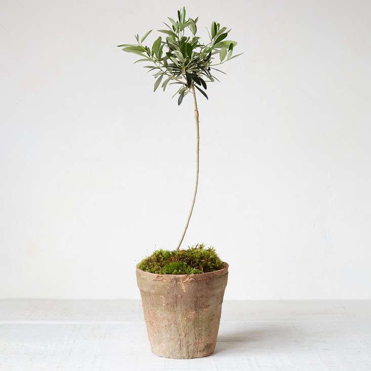 mossy-pot-olive-tree-topiary-gardenista