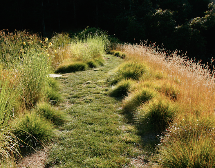 A meadow with a mix of grasses chosen for different uses. Carex pansa (along the path) is a ground cover grass suitable as a lawn replacement. Pennisetum spathiolatum (right) produces lacy brown stalks about -inch-high clumps of green. Spartina bakeri (left) is evergreen and will grow as tall as four feet.