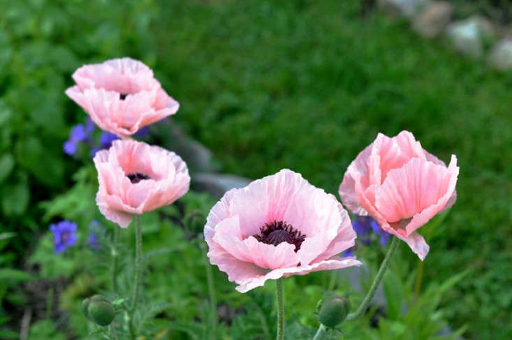 pink_poppies_gardenista